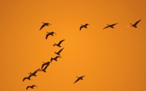 geese3lg